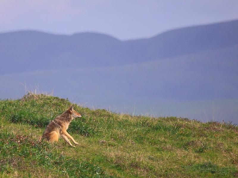 IMG_7584 Coyote