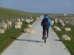 Friesischer Verkehrsstau