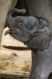 Female elephant calf
