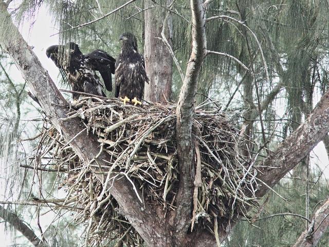 Bald Eaglet Honor flies to nest 20140330