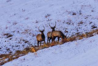 Deer in Mongolia