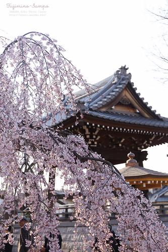 地蔵院・枝垂れ桜