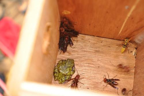 艾氏樹蛙與長腳蜂相安無事。(攝影:傅國銘)