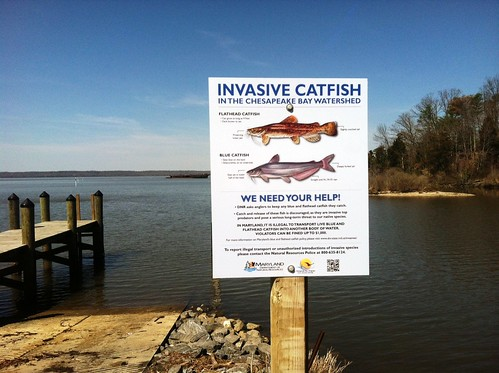 Invasive catfish trigger public awareness campaign in for Md dnr fishing license