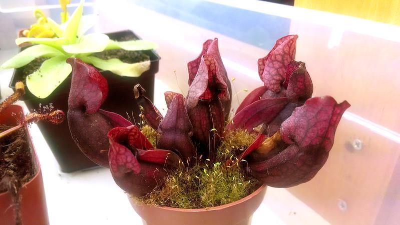 Sarracenia purpurea, 1-28-2014