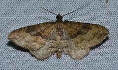 # 7414 – Orthonama obstipata – Gem Moth (male)