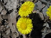 coltsfoot 2 by DavidJHand