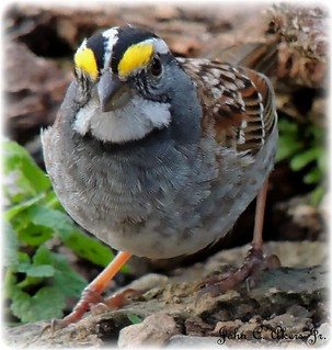 White-throated Sparrow, Zonotrichia albicollis.