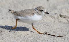 sandpiper(0.0), lark(0.0), animal(1.0), fauna(1.0), close-up(1.0), shorebird(1.0), beak(1.0), bird(1.0), wildlife(1.0),