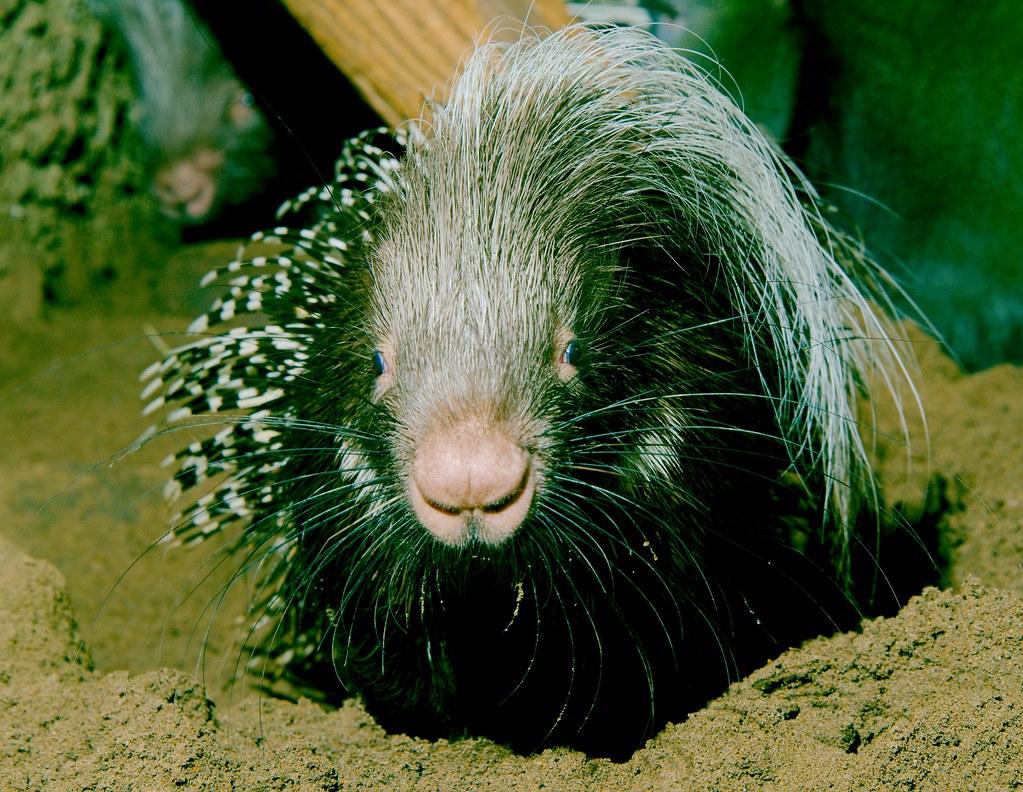 Crested Porcupine (Hystrix cristata)_5