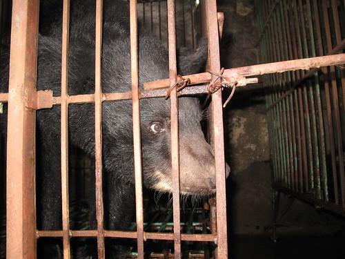 Moon bear Cinta in cage on Ty bear bile farm