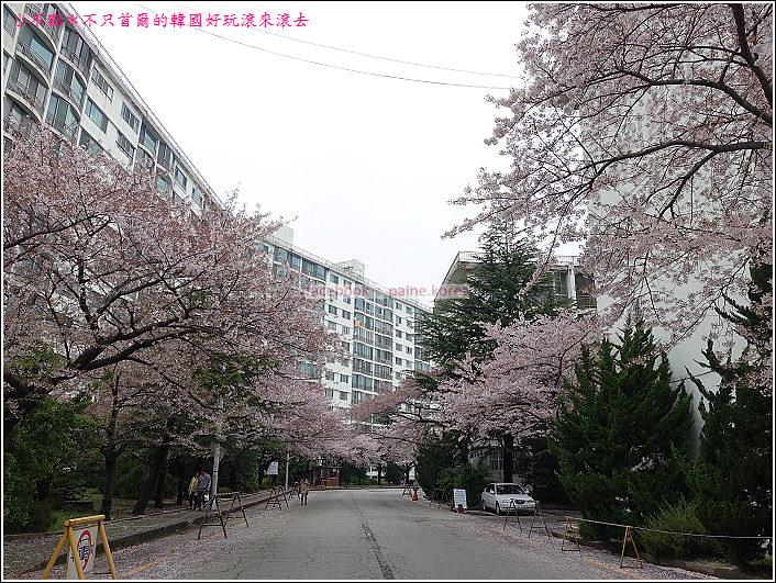 釜山南川洞櫻花隧道 (39).JPG