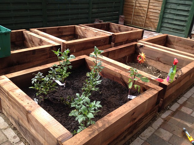 Edible dahlias in their new home.