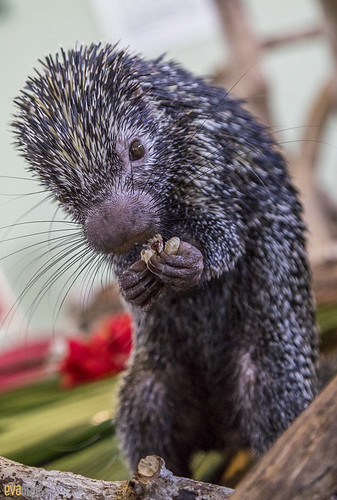 Rothschild's porcupine Gamboa Wildlife Rescue pandemonio 2017 - 05 | by Eva Blue
