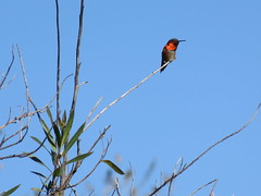 Red-Throated Bird