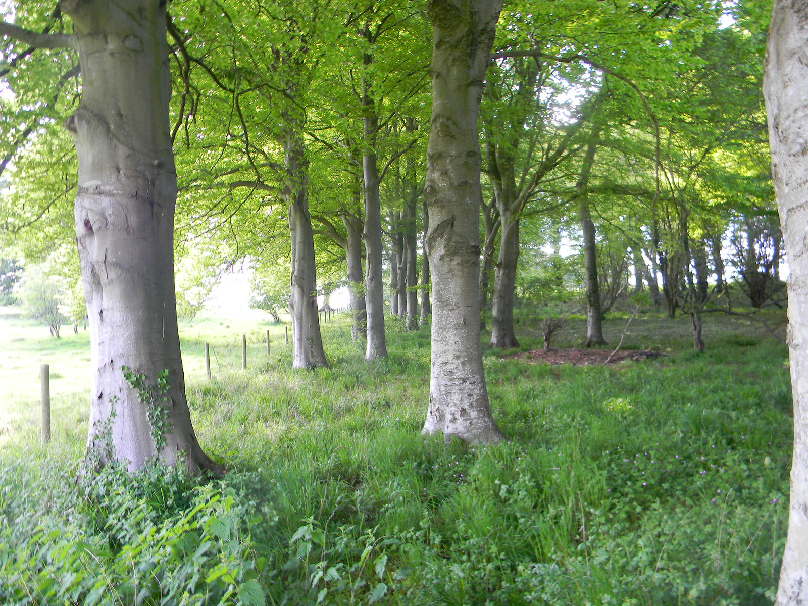 Trees in a wood Salisbury to Amesbury via Stonehenge