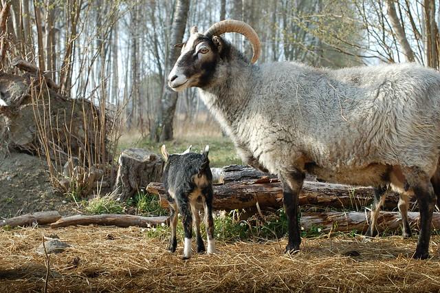 Gotland Sheeps