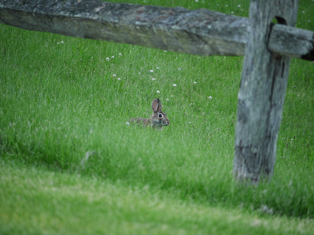 little wild rabbit in the grass by the fence