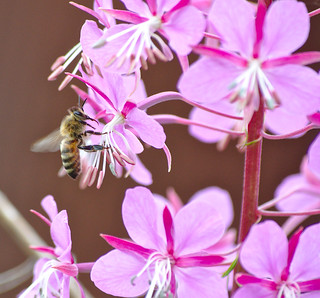 Fireweed Wildflowers with Busy Bee 3 of 4