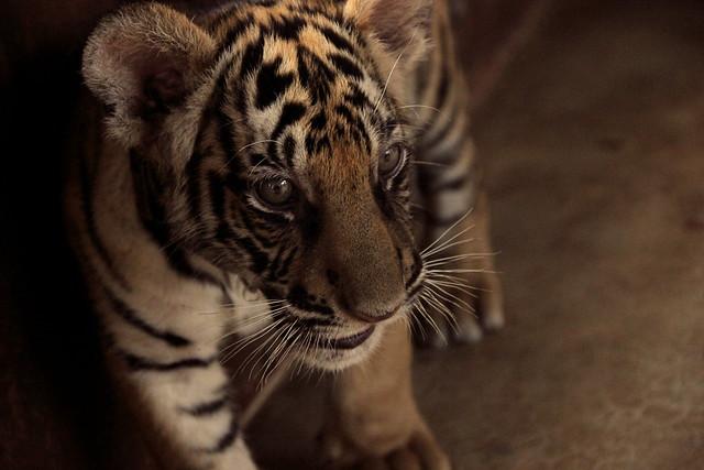 sweet tiger cub