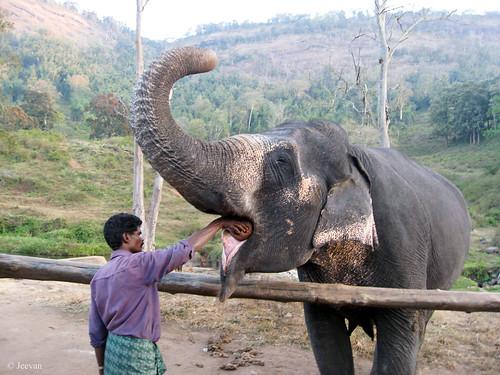 Elephant feeding,  Topslip
