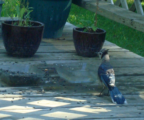 Bathing Blue Jay (5)