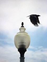 crow leaving a lamp-post (portrait drama)