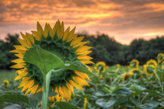 Sunflower & Sunrise at McKee Beshers HDR