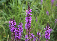 hyssopus(0.0), lavandula stoechas(0.0), dactylorhiza praetermissa(0.0), annual plant(1.0), flower(1.0), english lavender(1.0), lavender(1.0), lilac(1.0), lavender(1.0), herb(1.0), wildflower(1.0), flora(1.0), meadow(1.0),