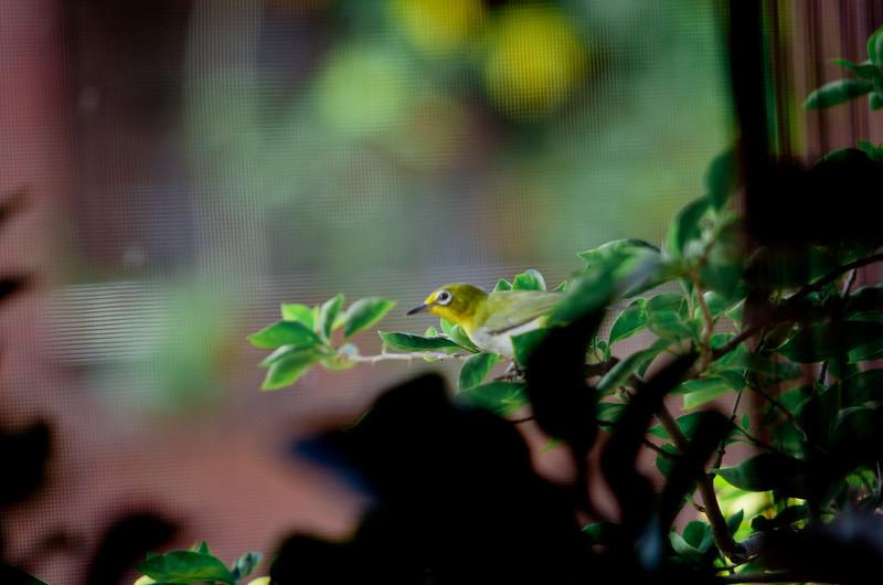 綠繡眼偶然來到家中陽台前吟唱。