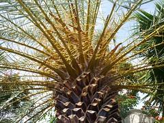 Phoenix theofrastii, Arecaceae