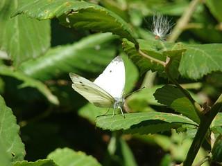 050 witte vlinder