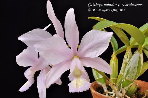 Cattleya nobilior f. coerulescens by Mauro Rosim
