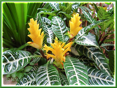 Our gorgeous Aphelandra squarrosa 'Dania' (Zebra Plant), August 10 2013
