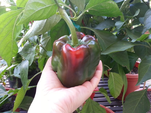 big red bell pepper 10-6-13