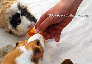 Guinea pigs Peaches and Poof try pumpkin