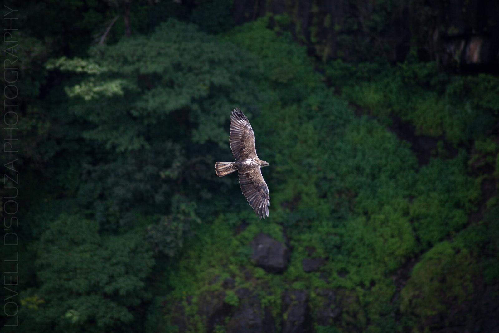 Eagle at the Thoseghar Waterfalls, Maharashtra