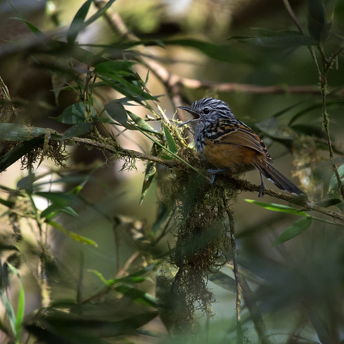 Long-tailed Antbird