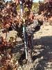 Corison Winery Cabernet