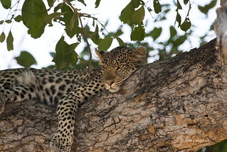 female leopard katavi