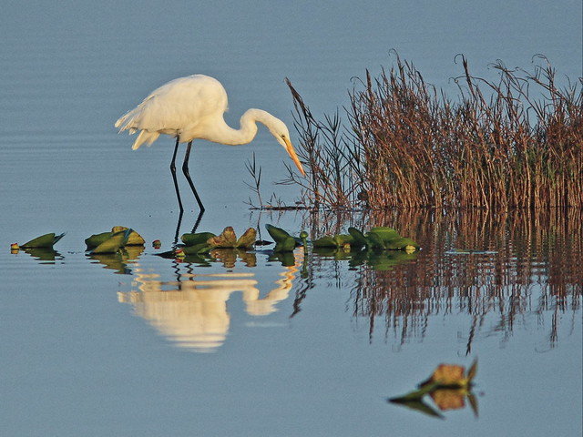 Great Egret 20131224