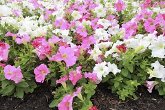 busy lizzie(0.0), annual plant(1.0), shrub(1.0), flower(1.0), plant(1.0), herbaceous plant(1.0),