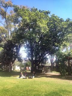 Árbol de Zapote #oaxacatoday