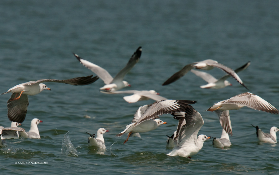 Brown-Headed-Gulls