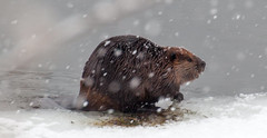animal, otter, winter, rodent, snow, fauna, muskrat, beaver, wildlife,