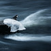 Black-bellied Dipper by Antti Peuna