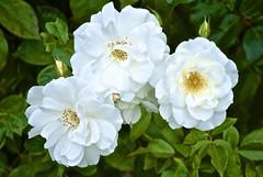 blossom(0.0), rosa 㗠centifolia(0.0), rosa multiflora(0.0), rosa wichuraiana(1.0), floribunda(1.0), flower(1.0), plant(1.0), flora(1.0), rosa pimpinellifolia(1.0), petal(1.0),