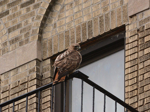 Red-Tailed Hawk (6566)