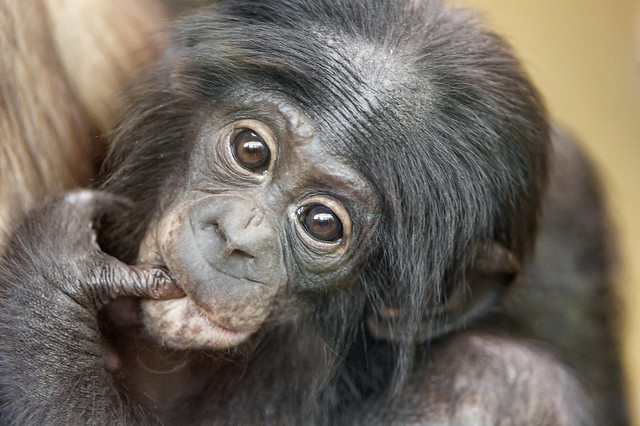 Cute bonobo baby with thumb in the mouth