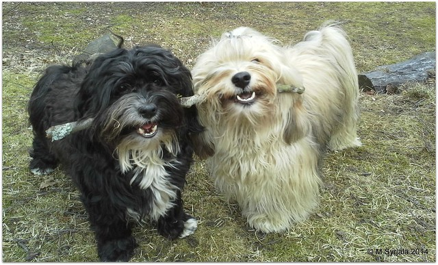 To catch two havanese with one stick